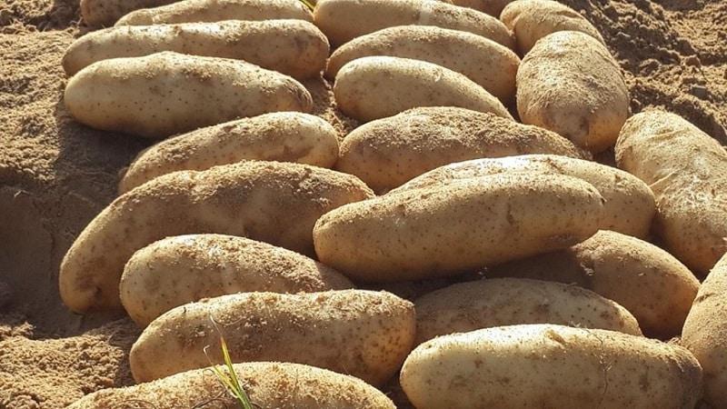 """Что это за сорт картошки """"Дрова"""" и существует ли он на самом деле?"""