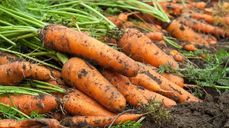 После чего сажать морковь — Дача,сад и огород