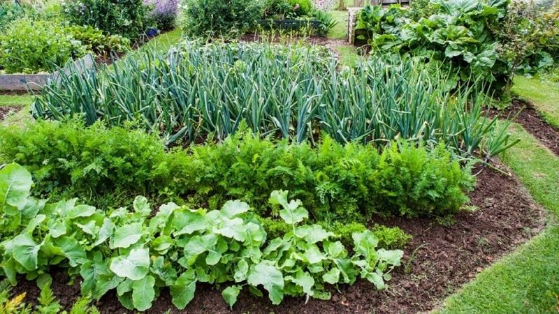 Азы севооборота от опытных дачников: что можно посадить после моркови на следующий год