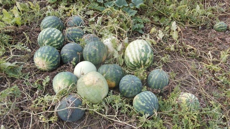 Что такое кормовой арбуз, кого им кормят и чем он отличается от обычного