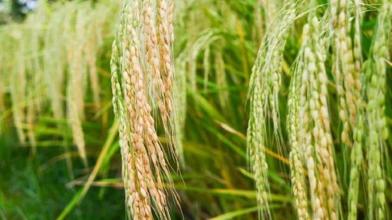 Где и как растет рис, и можно ли выращивать его в домашних условиях