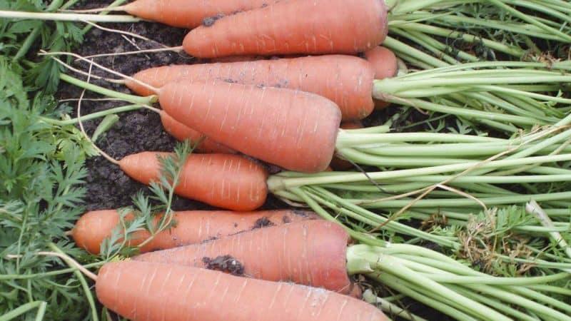 Среднепоздний гибрид моркови Каскад f1