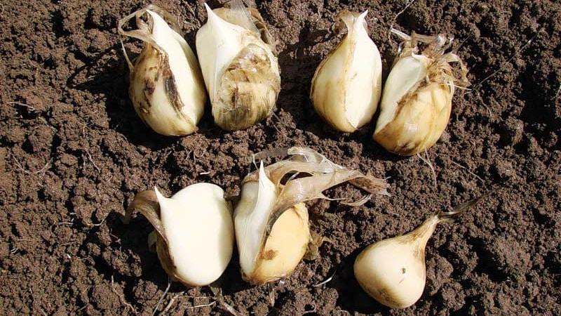 Гигантский лук-чеснок Анзур: описание и характеристика