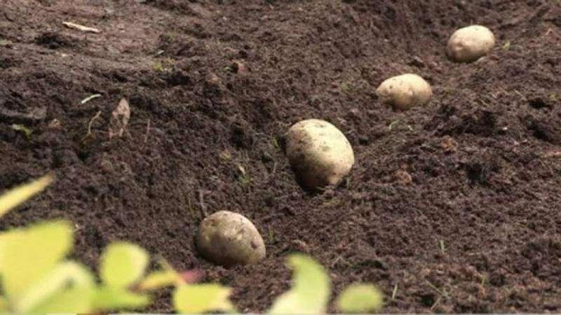 Грамотная посадка картофеля под зиму: пошаговая инструкция для начинающих огородников