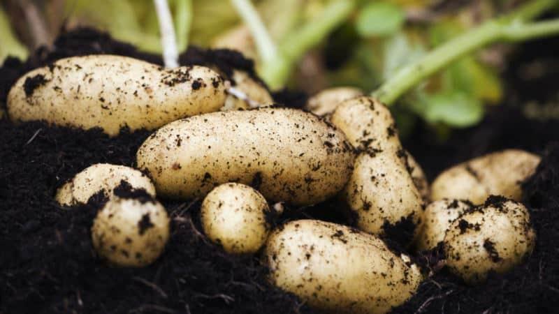 Как бороться с картофельной молью и победить