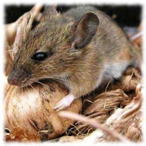 Народные средства от мышей в погребе