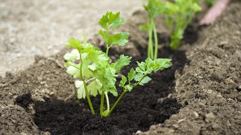 Как, когда и чем подкормить петрушку для роста: советы начинающим огородникам