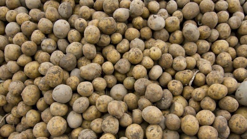 Как отличить кормовую картошку от столовых сортов и в чем ее особенности