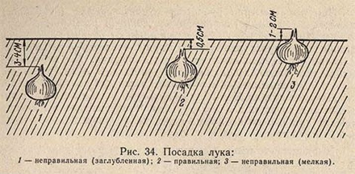 Как правильно и на какую глубину сажать лук на зиму