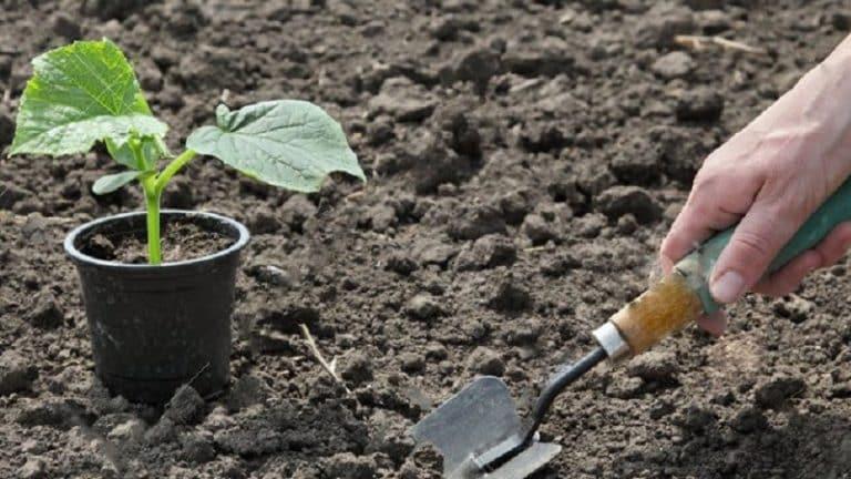 как приготовить раствор корневина для полива рассады