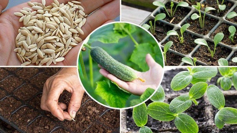 как сеять огурцы на рассаду в домашних