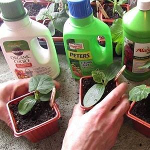 Как правильно посадить огурцы на рассаду, и когда это лучше сделать