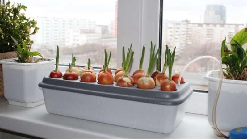 Как правильно выращивать зеленый лук на подоконнике: пошаговое руководство для начинающих