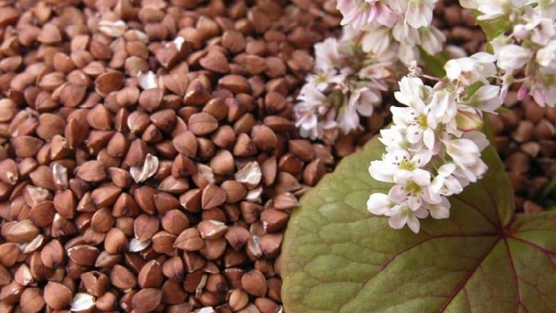 Как цветет гречиха: описание, ее польза и применение