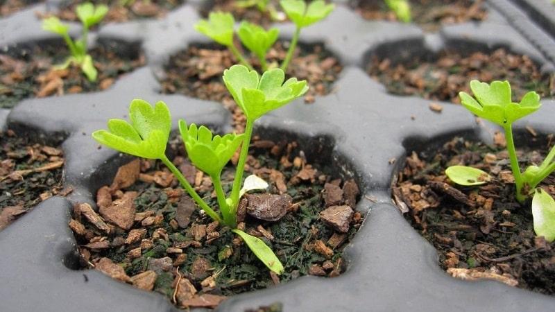 Пошаговая инструкция: как вырастить сельдерей из семян в домашних условиях на рассаду