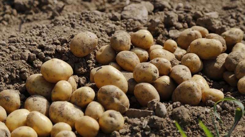 Раскрываем секреты рекордной урожайности: как вырастить ведро картошки с одного куста