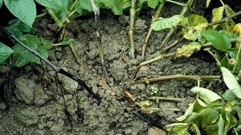 Какие бывают болезни ботвы картофеля: описание и лечение
