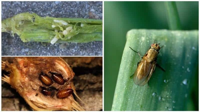 Какие бывают вредители лука и методы с ними
