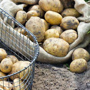 Какими способами и как размножается картофель