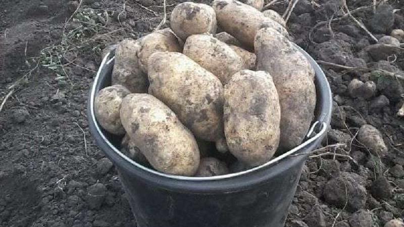 Какова урожайность картофеля с 1 га и как её повысить