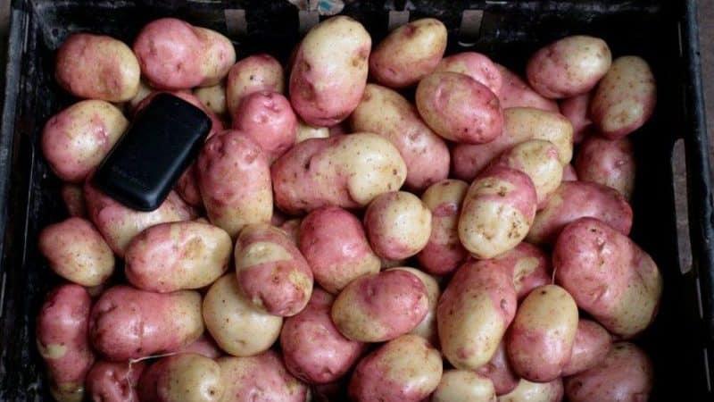 """Урожайный, неприхотливый и устойчивый к болезням сорт картофеля """"Иван да Марья"""""""