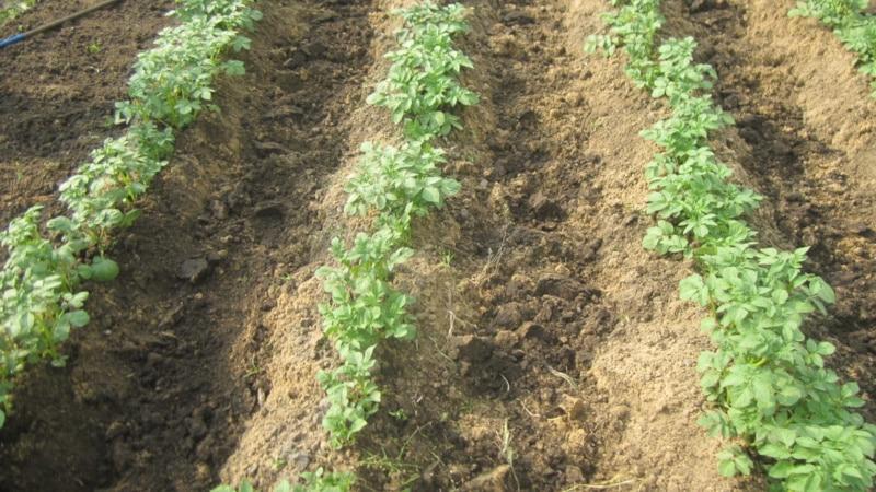 """Среднеранний сорт картофеля """"Лилли"""" с высокой урожайностью"""