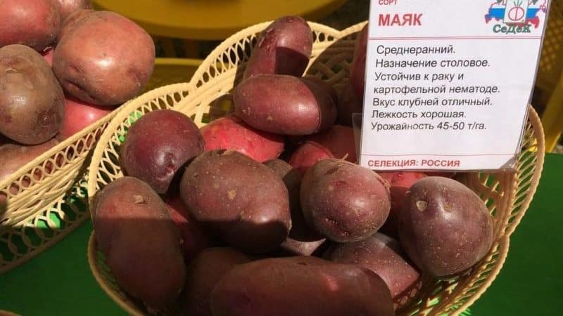 """Среднеспелый сорт картофеля """"Маяк"""" с хорошей адаптацией к условиям выращивания"""