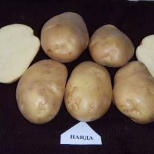 """Лучшие сорта картофеля: """"Наяда"""", """"Мадейра"""", """"Чайка"""" и другие"""