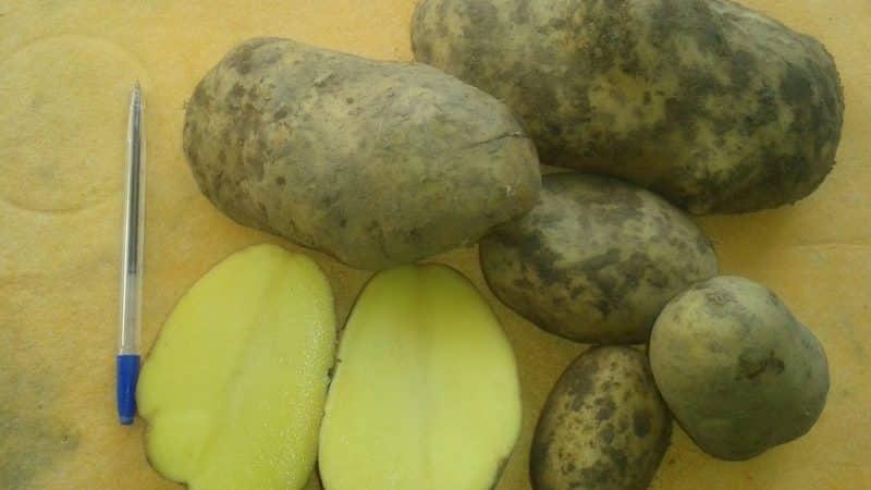 """Неприхотливый к погодным условиям среднеспелый сорт картофеля """"Рамос"""""""