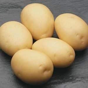 """Неприхотливый сорт картофеля, который хорошо хранится: """"Сифра"""""""