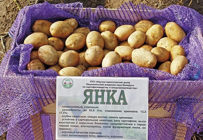 """Высокоурожайный, среднеспелый сорт картофеля с мощной корневой системой """"Янка"""""""