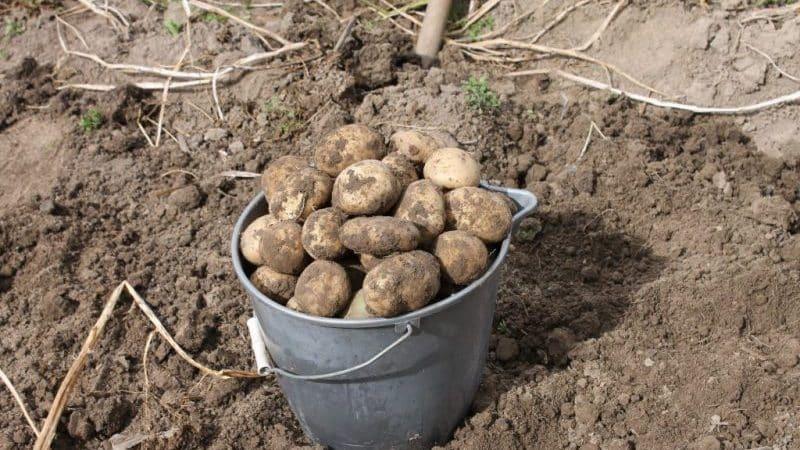 Навоз в качестве удобрения под картофель:  когда лучше вносить, осенью или весной