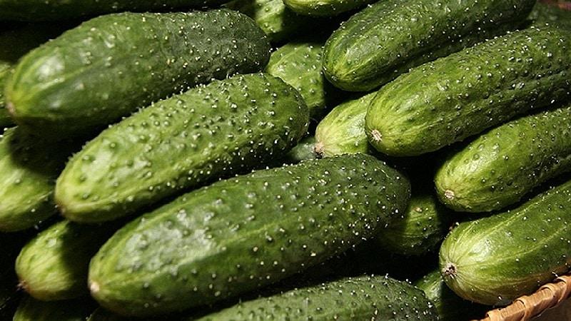 Лучшие самоопыляемые сорта огурцов для теплиц Урала