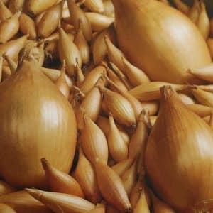"""Высокоурожайный сорт лука, устойчивый к заболеваниям и вредителям """"Бамбергер"""""""