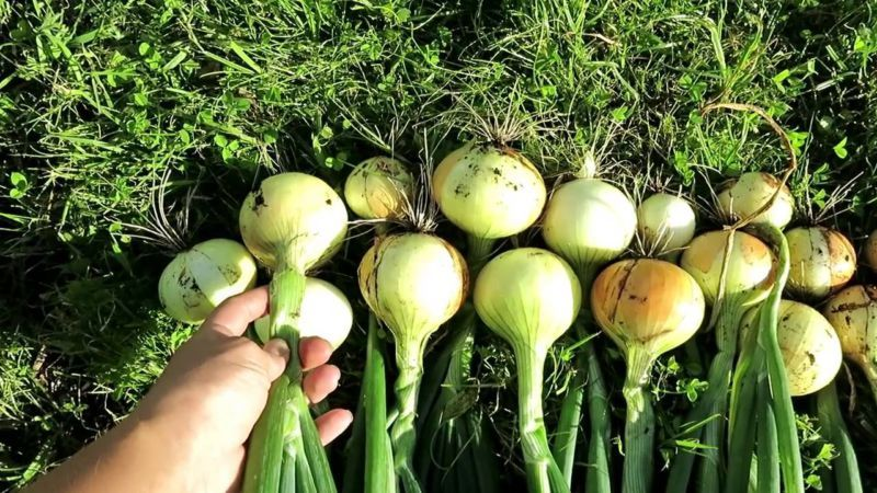 """Высокоурожайный зимний сорт лука """"Радар"""""""