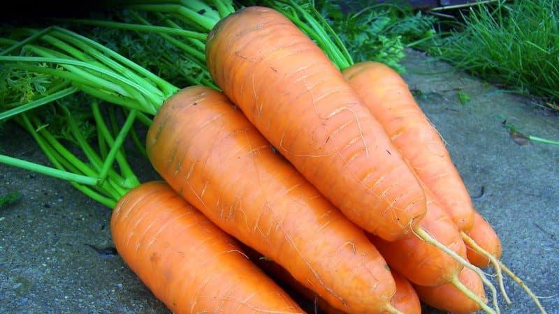 Скороспелые гибриды моркови: Шантане, Кордоба, Ред Коред