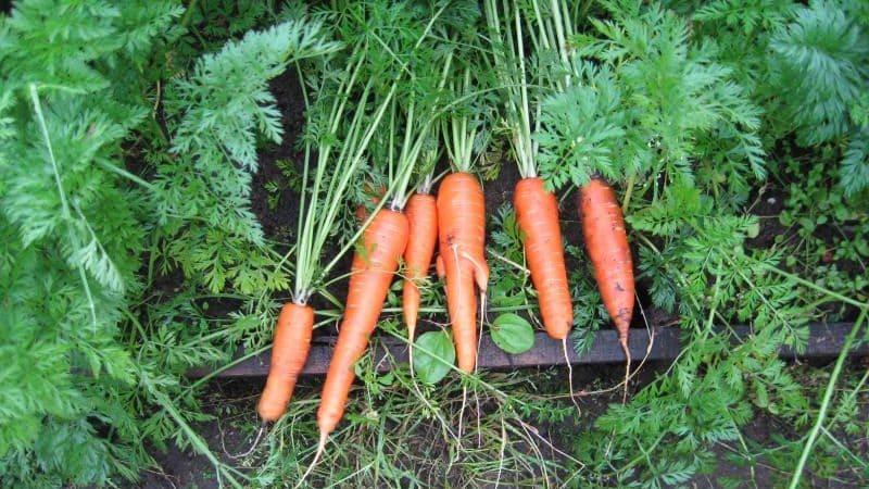 Морозоустойчивый сорт моркови Королева осени