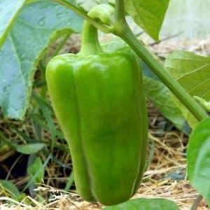 Надо ли обрывать листья у перцев в теплице и как это делать правильно: инструкция для начинающих огородников