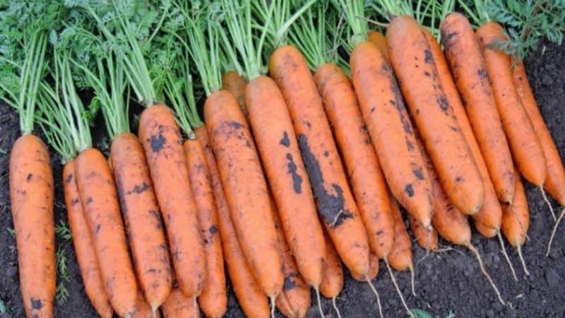 Лучшие сорта моркови для северо запада