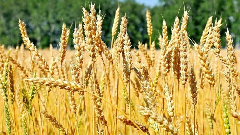 """Описание и характеристика озимого сорта пшеницы """"Баграт"""""""