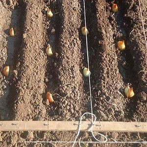 Особенности и схемы посадки лука осенью под зиму