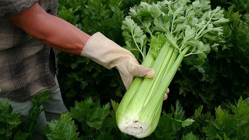 сколько всходят семена сельдерея черешкового на рассаду