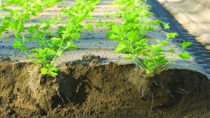 Особенности посадки и ухода за черешковым сельдереем в открытом грунте