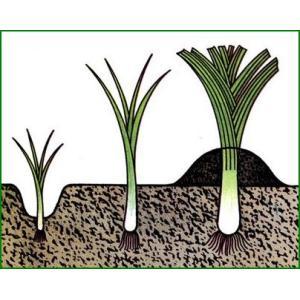 Особенности выращивания лука из семян