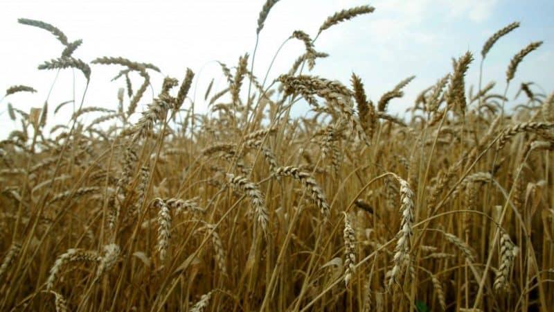 """Озимая пшеница """"Московская 40"""": описание сорта"""