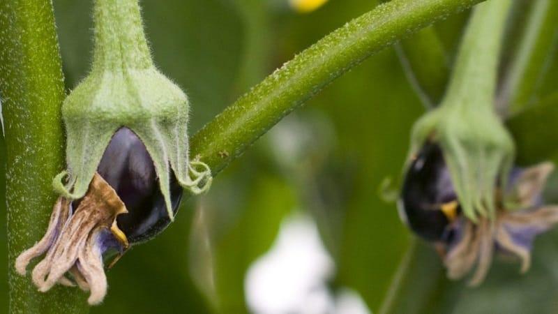 Что делать, если опадают цветы у баклажанов в теплице и почему так происходит?