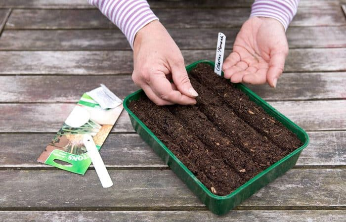 Поэтапное руководство по посадке корневого сельдерея на рассаду: от подготовки до пересадки в грунт