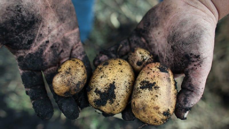 """Популярный сорт картофеля с высокой урожайностью """"Репанка"""""""