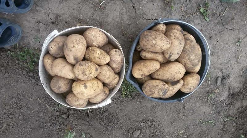 Популярный среди огородников среднепоздний сорт картофеля Тулеевский