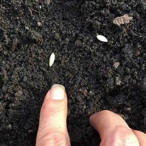 Рекомендации по посадке огурцов семенами в открытый грунт в июле